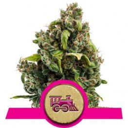 candy kush express fast cannabis seeds.jpg