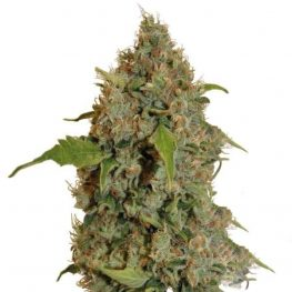 chronic thunder cannabis.jpg