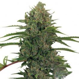 critical kush weed.jpg