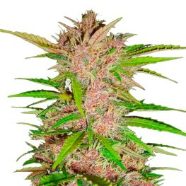 fastberry automatic seeds.jpg