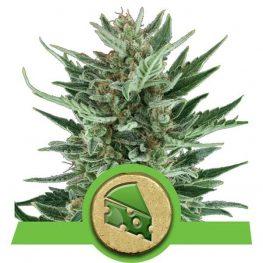 royal cheese automatic cannabis zaden
