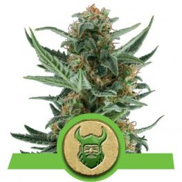 royal dwarf autoflowering cannabis zaden