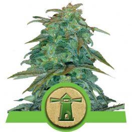 royal haze cannabis zaden