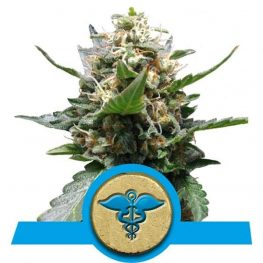 royal medic cannabis zaden