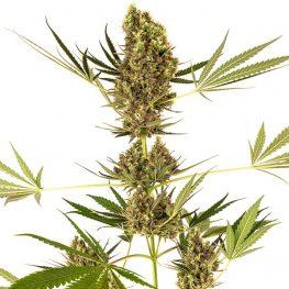alphine delight weed.jpg