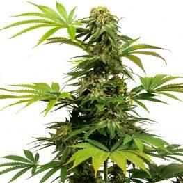 black harlequin weed.jpg