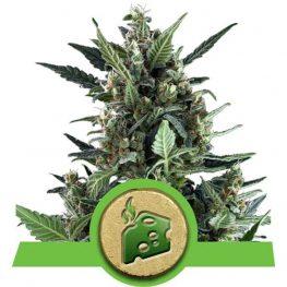 blue cheese automatic cannabis zaden