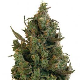 blue cheese cannabis.jpg