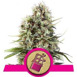 chocolate haze cannabis seeds.jpg