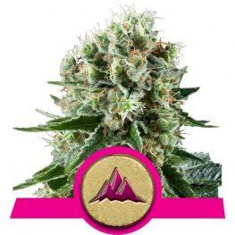 critical kush cannabis zaden