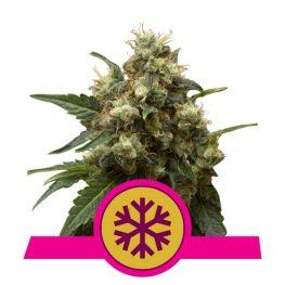 ice cannabis zaden