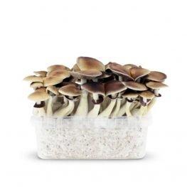 amazonian magic mushrooms paddos growkit.jpg