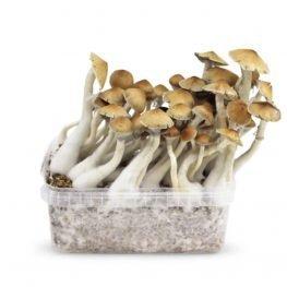 cambodian magic mushrooms growkit paddos.jpg