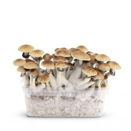 golden teacher magic mushrooms growkit paddo.jpg