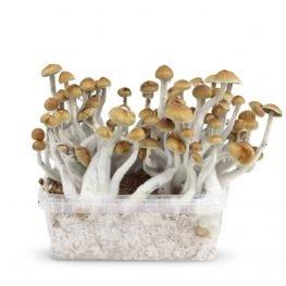 mazatapec magic mushrooms paddos growkit.jpg