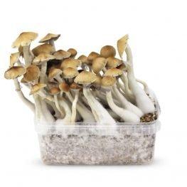 mckennaii magic mushrooms growkit paddo.jpg
