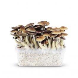 mokum magic mushrooms paddos.jpg