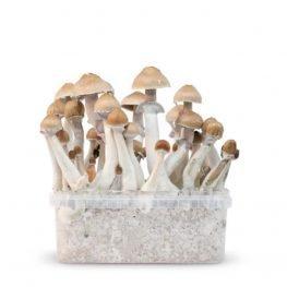 red boy magic mushrooms grow kit paddos.jpg